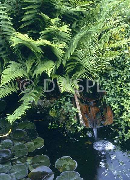 Garden water feature set amongst ferns with water lilies