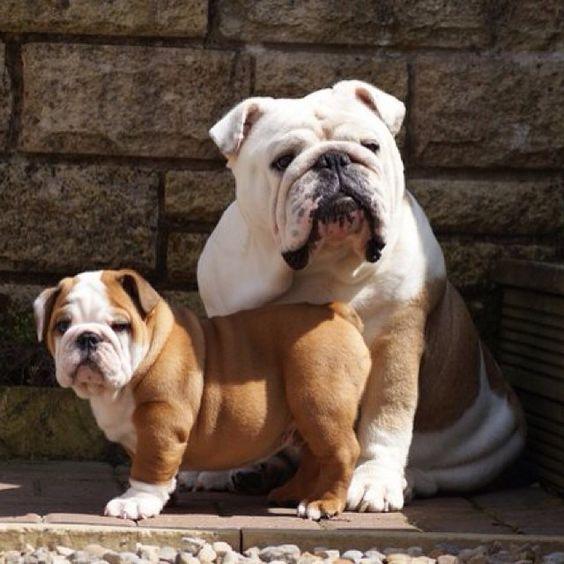 British Bulldog And Its Puppy British Bulldog Bulldog Puppies