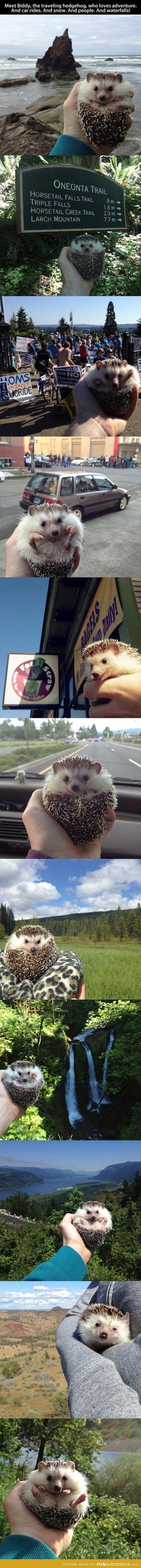 Adventurous hedgehog