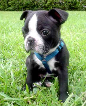 Boston Terrier pup  ...might be getting one of these running around my house soon... :)