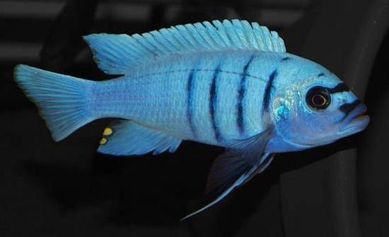 White Top Hara Rons Cichlids Cichlids White Tops African Cichlids