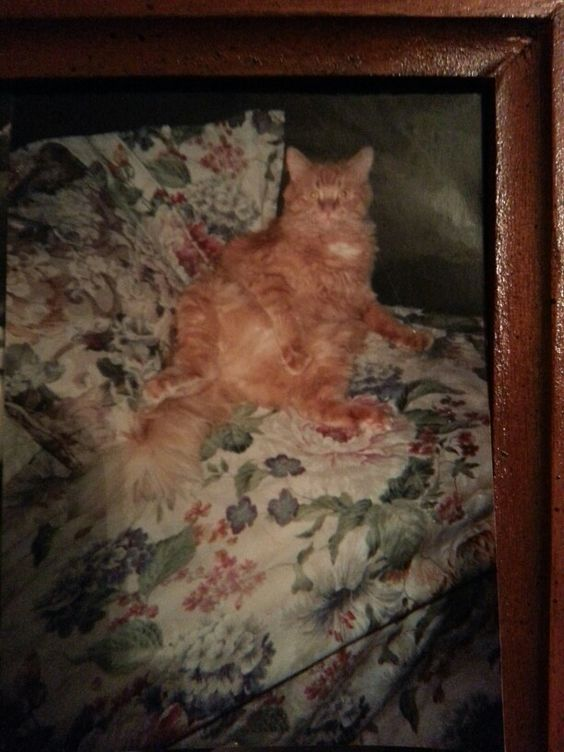 """This was our beloved BUBU..he passed at almost 16yrs old we lost him 2yrs ago almost..he was supposed to have been put down at age 6 according to TWO veterinarians..his liver and kidneys were failing """"allegedly"""" he was sick no doubt but like I did with skinny minnie when she was severely sick I requested specific meds and fluids and special food etc..and they all made it..it upsets the vets but I rather do it my way it works!!! He lived 9 more yrs...amazing!"""