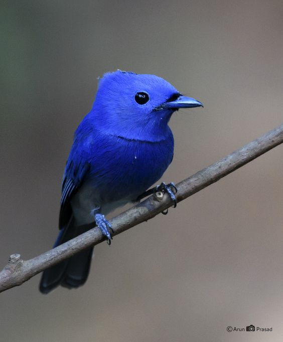 Black naped Monarch - Thattekad. Kerala. India: