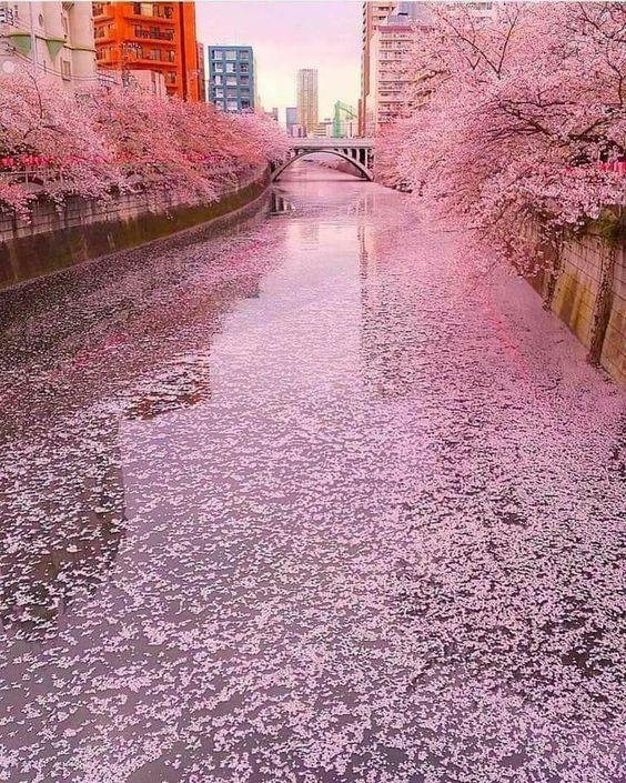 Sakura River in Tokyo