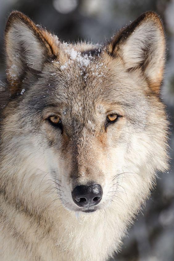 Pin On Llops Wolves Lobos