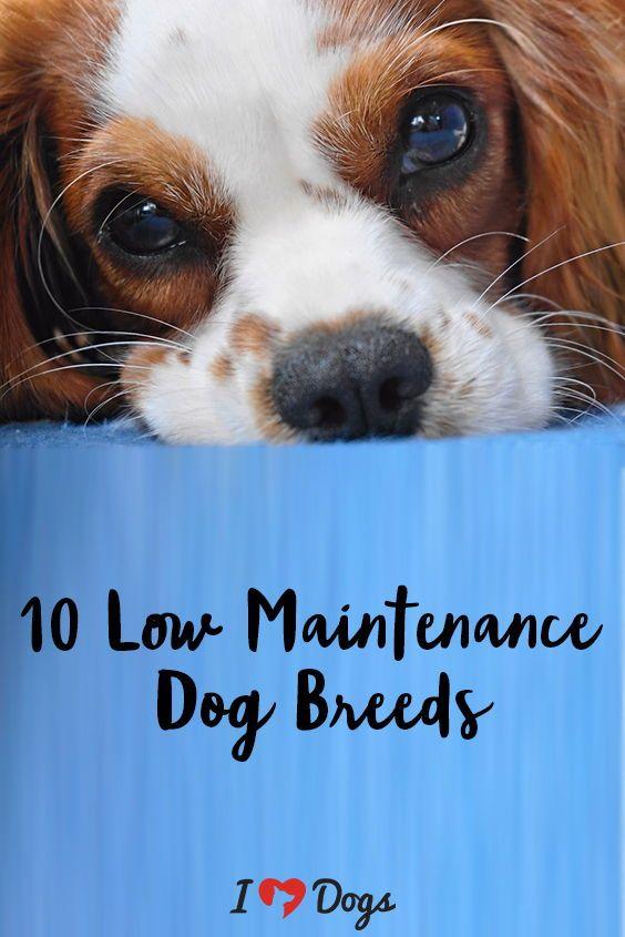 10 Low Maintenance Dog Breeds Friendly Dog Breeds Low Maintenance Dog Breeds Dog Breeds Medium