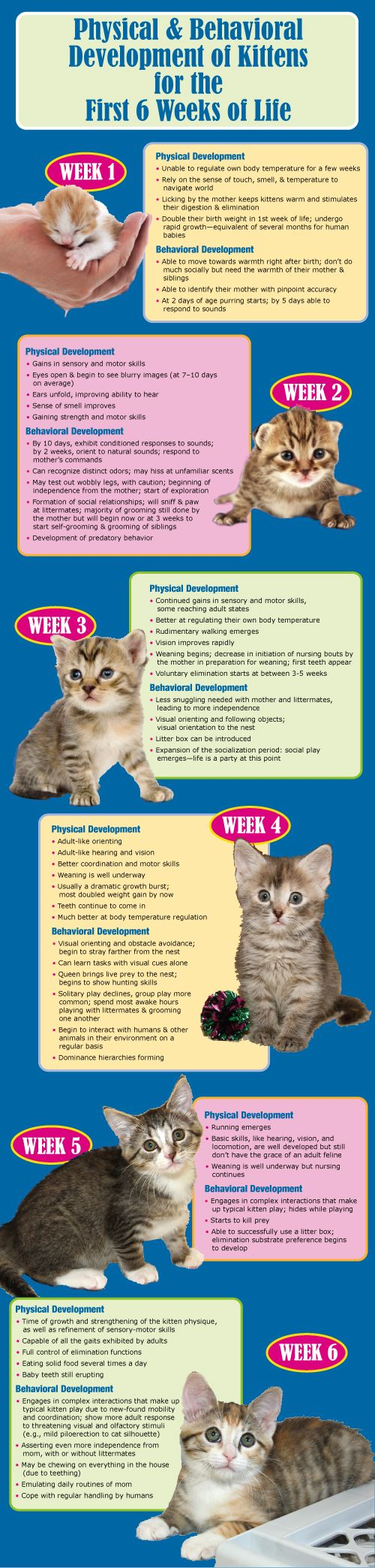 """A kitten's antics aren't just adorable and enticing; they're a roadmap to physical and behavioral development. Make sure the kittens in your care are on the right track with this infographic based on Dr. Susan Krebsbach's """"From Helpless Newborn to Skilled Acrobat: Feline Development and the Orphaned Kitten"""": - See more at: http://maddiesinstitute.typepad.com/chewonthis/2013/06/kittens-the-first-six-weeks-"""
