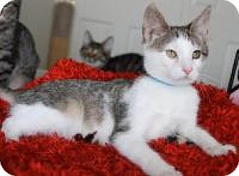 Blackwood, NJ - Domestic Shorthair. Meet Hodor, a kitten for adoption. http://www.adoptapet.com/pet/12290079-blackwood-new-jersey-kitten