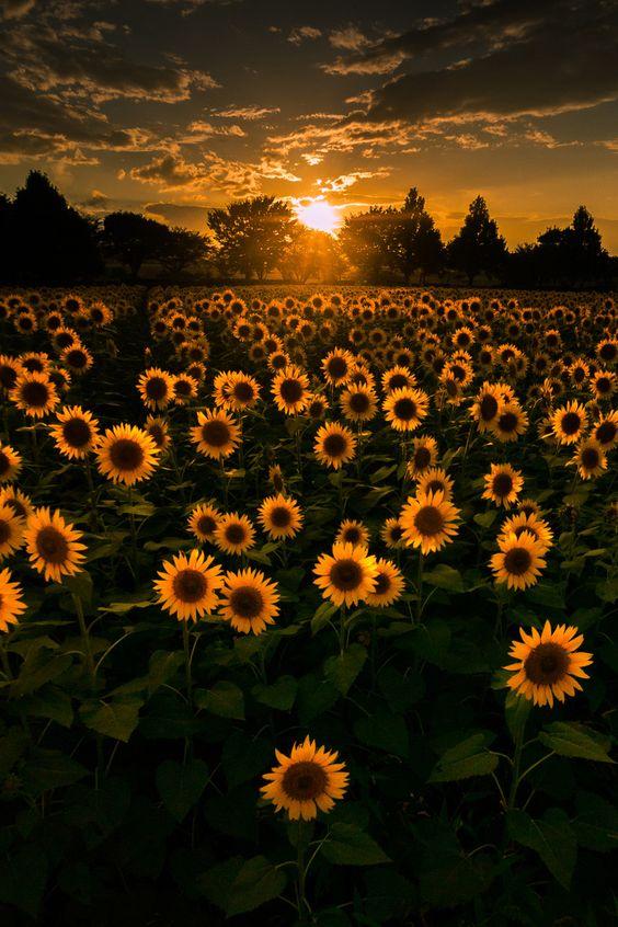夕暮れのひまわりが綺麗で美しい花畑