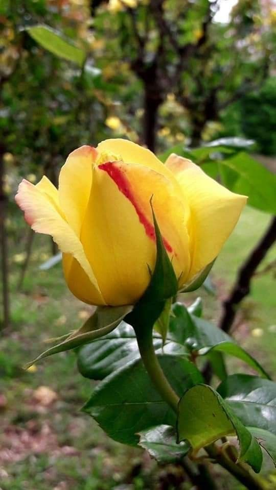 Pin By Saziye On 1 A File General In 2020 Beautiful Roses Amazing Flowers Beautiful Flowers