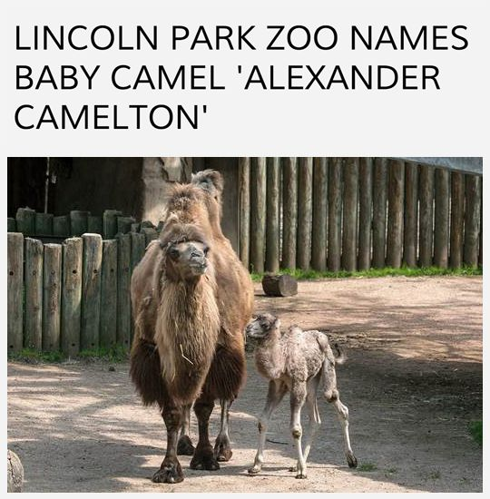 Today's top story. (via abc7chicago) 🐫