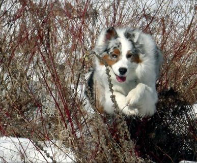 Australian Shepherd Information and Pictures, Australian Shepherds