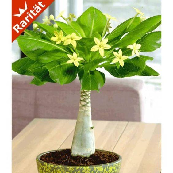 Hawaii-Palme 30-40 cm hoch, 1 Pflanze - BALDUR-Garten GmbH