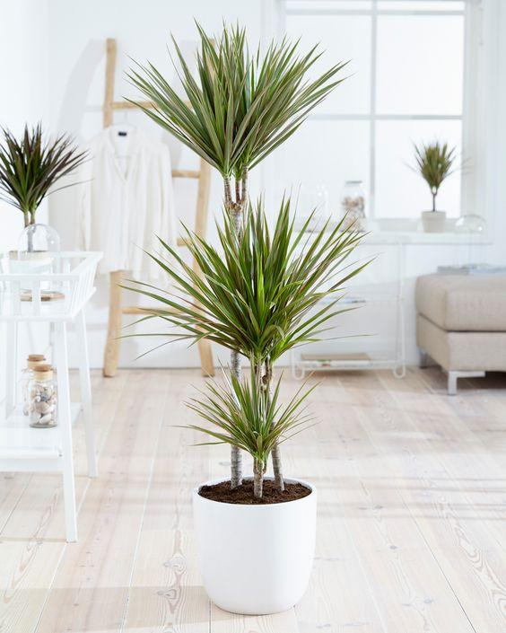Les Dracaenas sont des très bons nettoyeurs d'intérieur. Ils parviennent à capturer certaines toxines. Cette plante dépolluante est parfaite pour votre chambre !