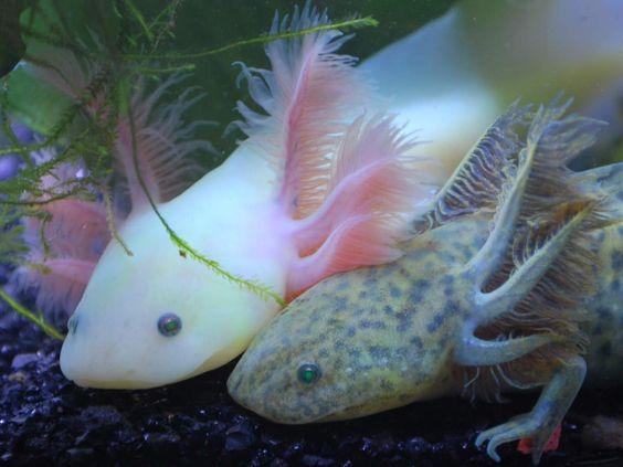 Axolotl - Mexican Walking Fish, the Axolotl is not a fish but an amphibian, a salamander, part of the order Caudata/Urodela: Créatures, Animals, Salamander, Axolotls, Life, Fish, Sous-Marin, Small, Amphibians