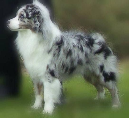 Australian Shepherd Smart Working Dog Australian Shepherd
