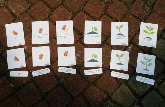 kartu permainan daur hidup kacang hijau