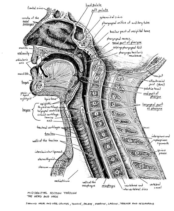 Anatomy of the pharynx