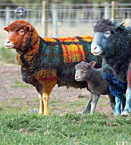 Scottish farmer, Grant Bell, has taken to parading his colourful flock of sheep across his East Lothian property to the sound of bagpipes.