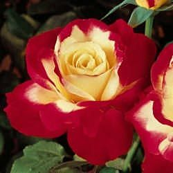 """This is actually called, """"Love & Peace"""". My favorite rose. Had it in my garden in WA. Very lovely and fragrant!"""