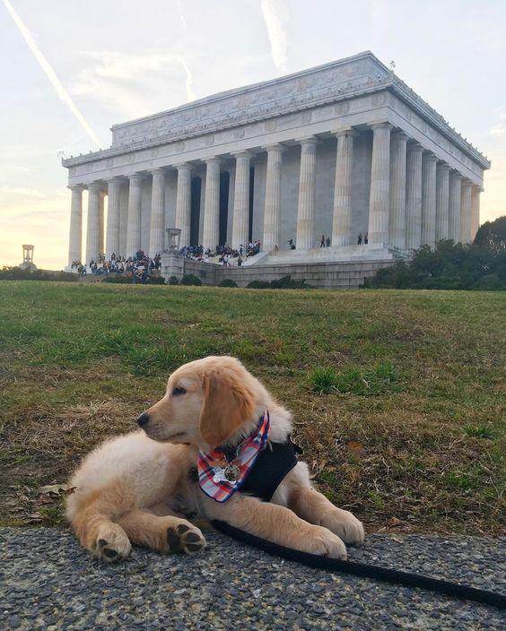 #indianajonesthepuppy  Indy the golden retriever puppy modeling for all the sightseers
