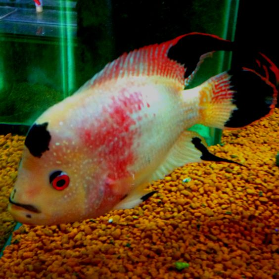 active aquariums royal phoenix active aquariums