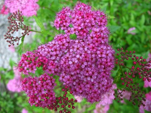 #Free photo: Flower, Pink, Spiraea, Garden - Free Image on Pixabay - 1104447