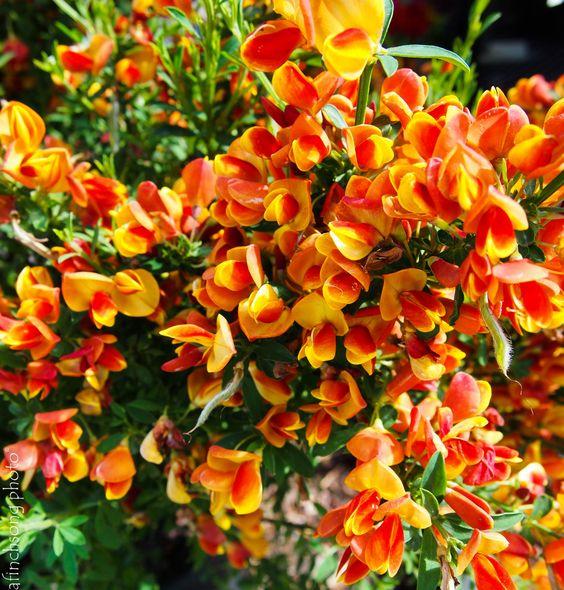 Cytisus scoparius 39 lena 39 lena scotch broom deciduous for Flowering bushes for full sun