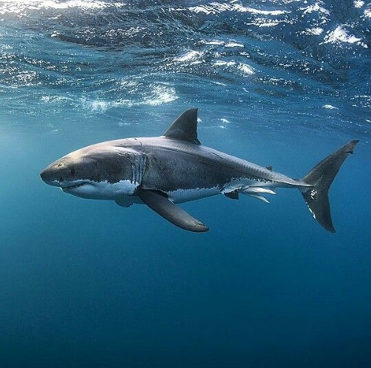 The great white shark! At Neptune Islands, South Australia