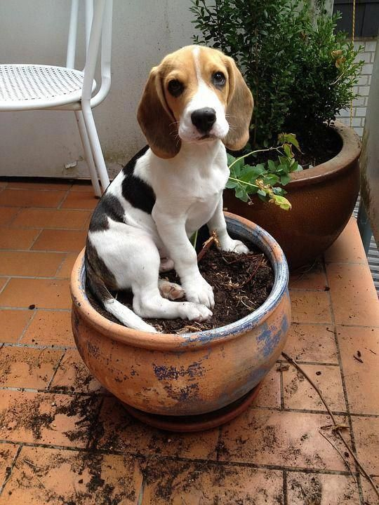 Facts On The Beagle Pups Size Beaglelife Beagleinstagram