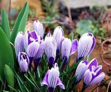 Bilder im Frühling. Frühlingsbilder mit Blumen im Frühling unter Schnee und Eis.