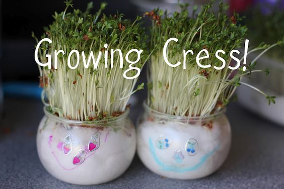 Fast-growing cress heads... all you need is a container, cotton balls, cress seeds water and sunshine... perfect!
