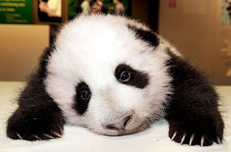 awww! bubby panda...