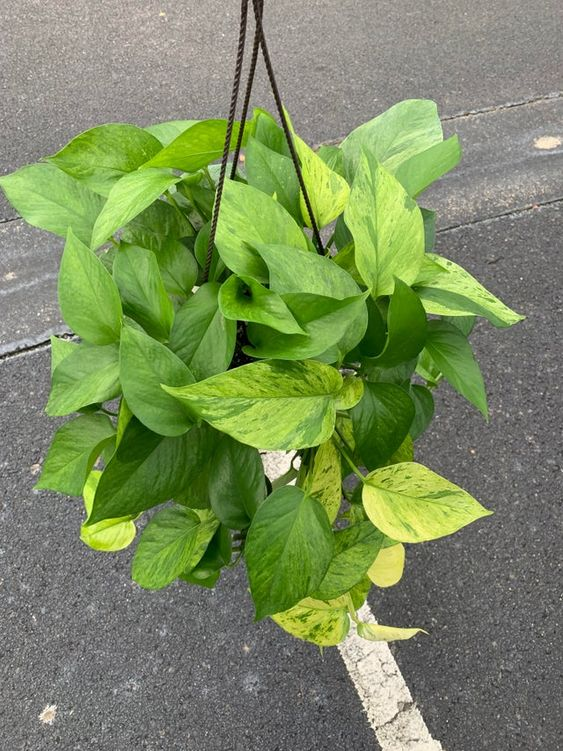 jessenia pothos, common pothos varieties