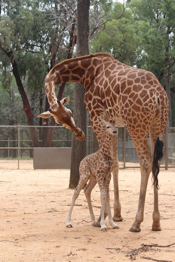 Taronga Western Plains Zoo is excited to announce the arrival of their second female Giraffe calf of the year. The newest arrival was born on the evening of February 1st. Her name Kito, and she is the first calf for mother, Myzita. Check out ZooBorns to learn more! http://www.zooborns.com/zooborns/2016/02/taronga-western-plains-zoos-giraffe-herd-is-twice-as-nice.html