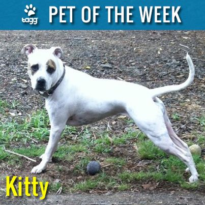 Kitty, an American Pit Bull Terrier, who loves to pose like a show dog. #taggpetoftheweek