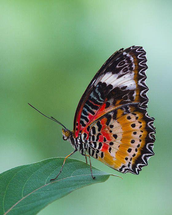 Lacewing Butterfly By Lowell Monke