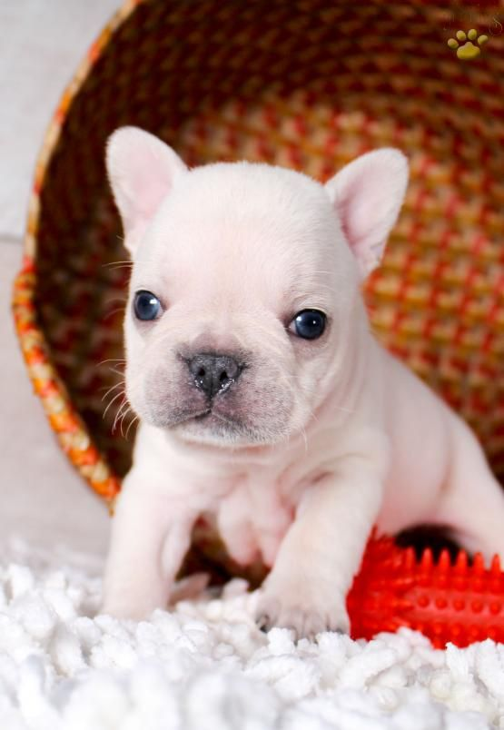 Puppy Pictures French Bulldog Puppies White French Bulldog Puppies Bulldog Puppies