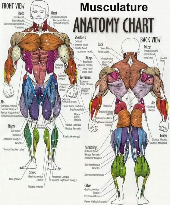 pin by richard lander on gym | pinterest | muscle, charts and, Muscles