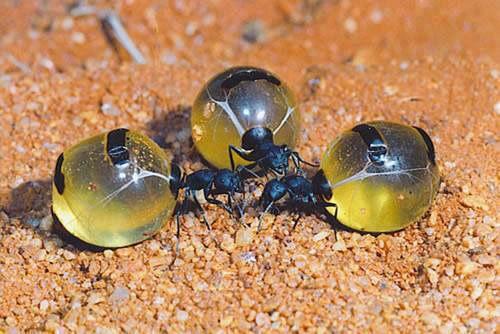 Quando você pensa que já viu tudo… Formigas-Pote de mel [Vídeo] | Diário de Biologia