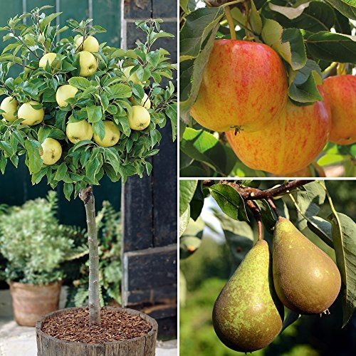 Dwarf Patio Fruit Tree Apple Pear Small Garden Trees Easy To Grow Miniature Orchard Produce Gala Golden Small Trees For Garden Patio Fruit Trees Fruit Trees