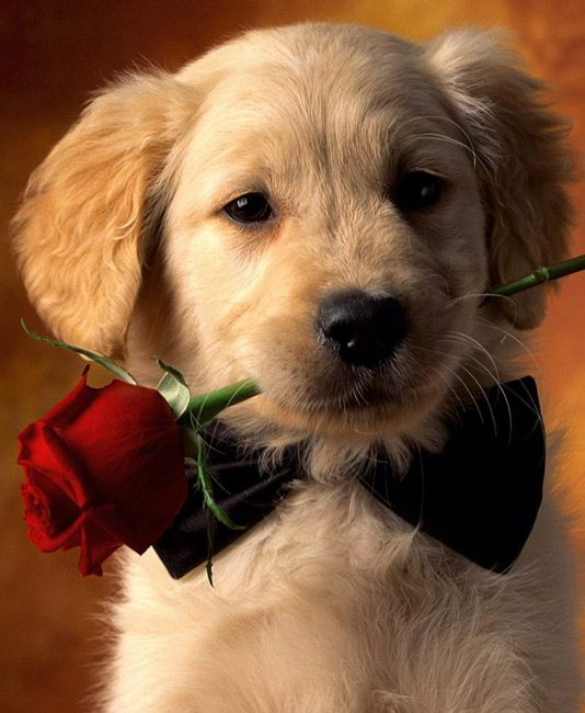 Adorable Puppy Holding Red Rose, Animals Desktop