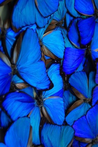 blue butterflies: