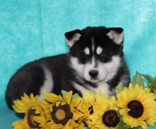 Hudson Male Siberian Husky 200 Husky Puppies For Sale Husky