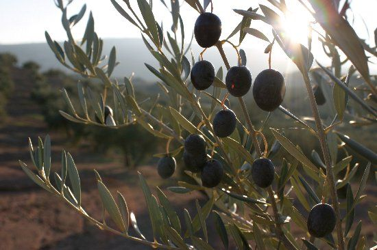 Olive groves in Spain/Olivares en España