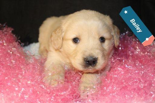 Litter Of 7 Golden Retriever Puppies For Sale In Apple Creek Oh Adn 65720 On Puppyfinder Com Gender Puppies For Sale Golden Retriever Golden Retriever Litter