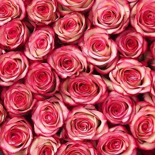 Rosentraum Blumenlara Blumen Flowers Roses Rosen Blumenstrauss Bunteblumen Rosenbeet Flowerbox Instaflowers Insta Plants Rose Flowers