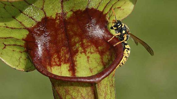 die-schlauchpflanze-lockt-insekten-in-ihre-toedliche-falle-.jpg 640×360 Pixel