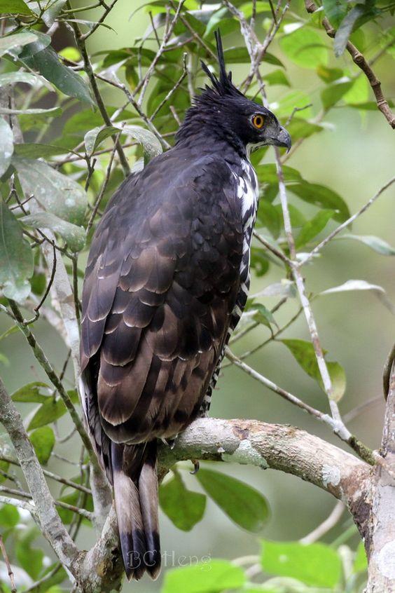 a415 20120505 Bukit Tinggi Birding\02 Birds\027^ Blyth's Hawk-Eagle 马来鹰雕 เหยี่ยวดำท้องขาว