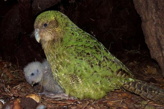 Kakapo, son 147 kişisine kalmış.  Şimdi, bilim adamları kuşun üremesine yardımcı olmak için fitnes izleyicileri ve semen taşıyan uçak kullanıyorlar.